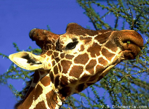 Girafe en images dinosoria for Prix d une girafe a poncer