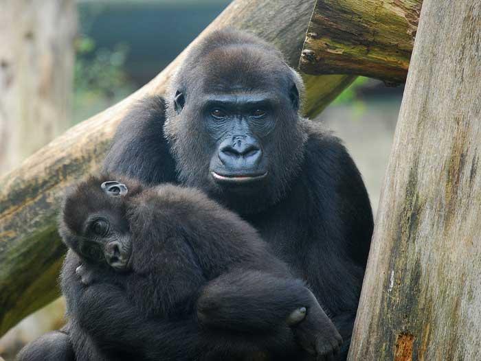 Extra zoophilie avec une salope qui tringle avec un gorille