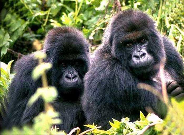 Le gorille fait partie de la famille des hominidae . licence