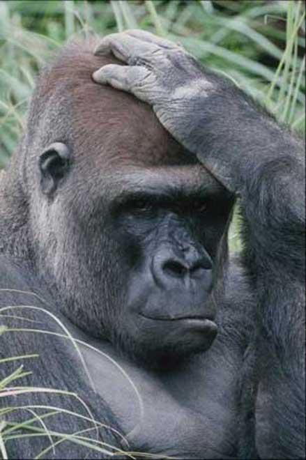 """Résultat de recherche d'images pour """"images gorilles"""""""