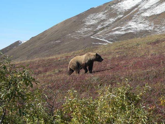 Grizzli en Alaska