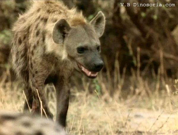 Relations entre la hyene et le lion en images video dinosoria - Felin de la savane ...