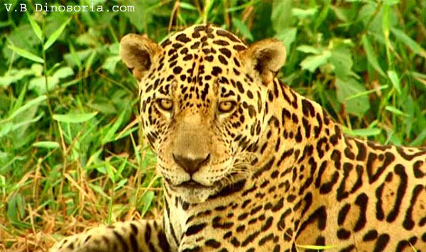 jaguar animal mythique panthera onca en images dinosoria. Black Bedroom Furniture Sets. Home Design Ideas
