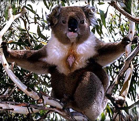 koala en images dinosoria. Black Bedroom Furniture Sets. Home Design Ideas