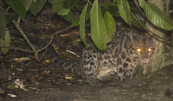 Leopard tacheté de Bornéo