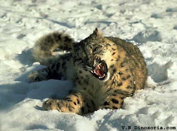 نمر الثلوج. Leopard-neige-1