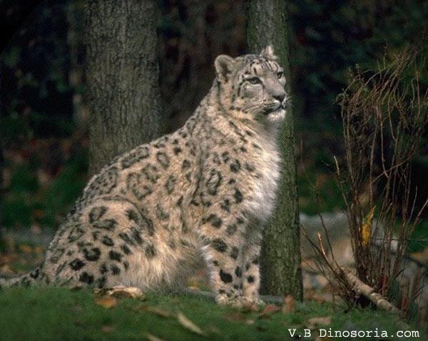 نمر الثلوج. Leopard-neige-4