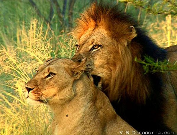 Tendresse entre lions