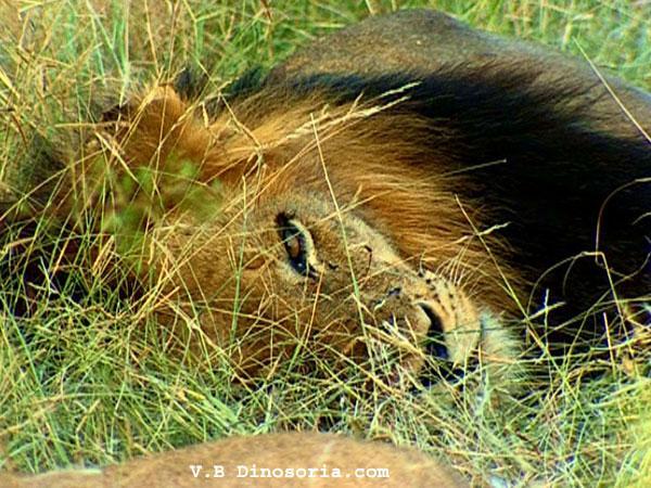 Lion qui dort
