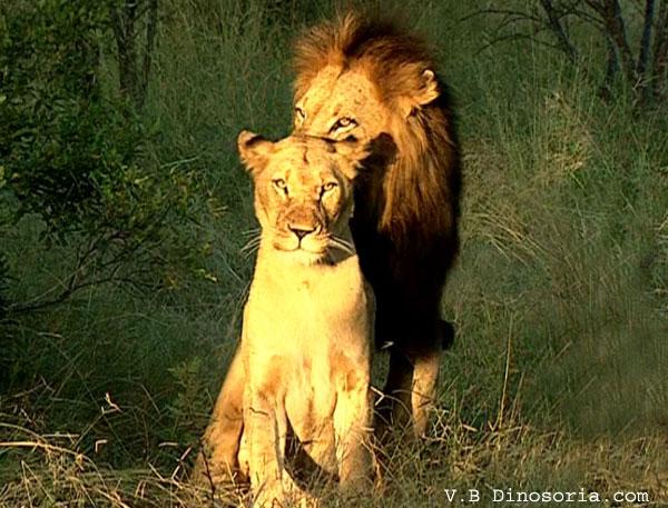 Lion et une lionne