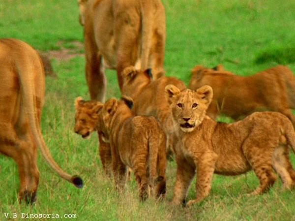 Lionceaux