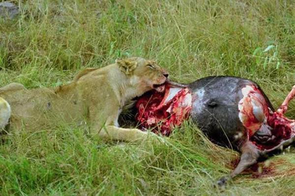 Lionne qui devore un gnou