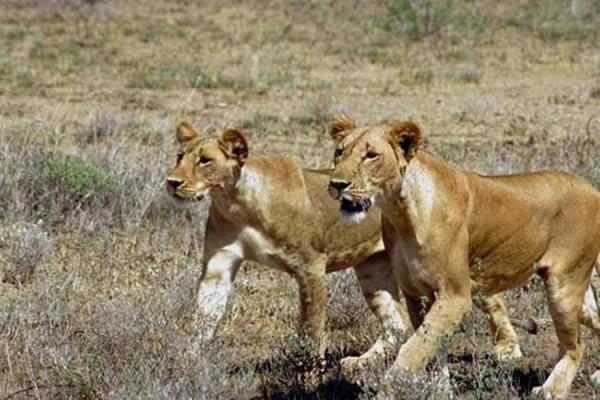 Lionnes qui chassent