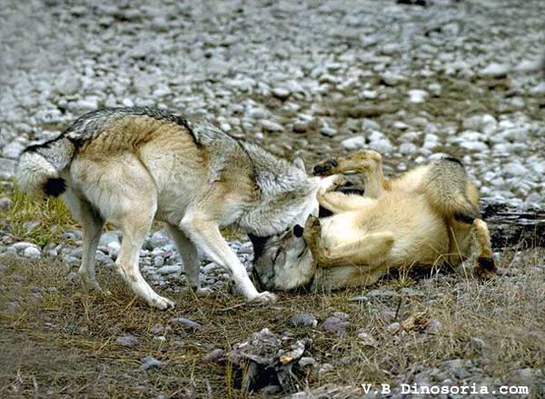 Combat entre deux loups