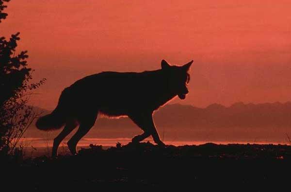 Loup au crépuscule