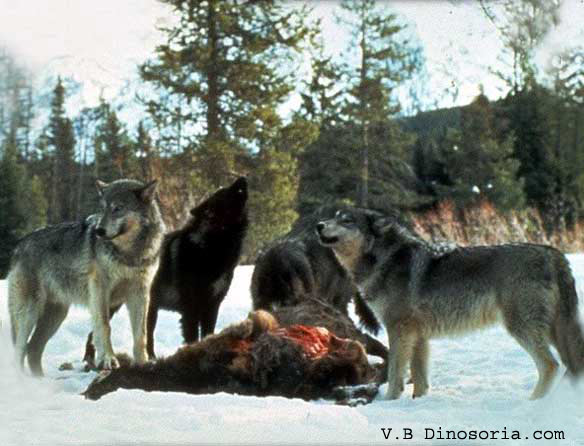 Loups qui chassent