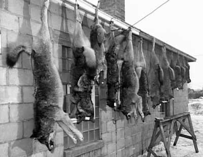 Loups tués au début du 20e siecle
