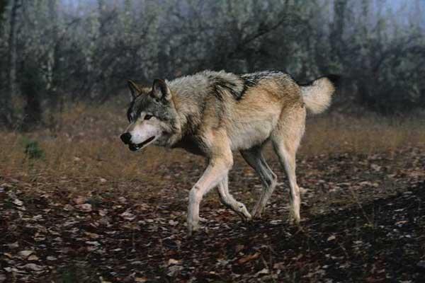 IMAX Wolves DD5 1 x264 1080p MovieStars [Phoenix TK] mkv preview 2