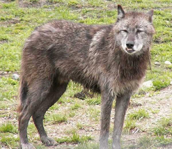 Mue annuelle du loup