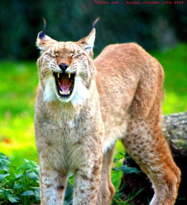 """Je ne suis pas un animal"" Lynx"