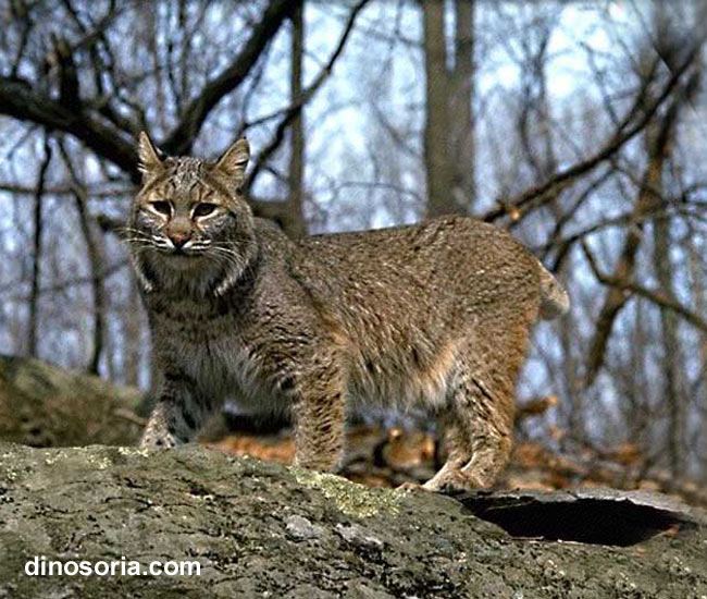 讨论下长的最帅的猫科动物