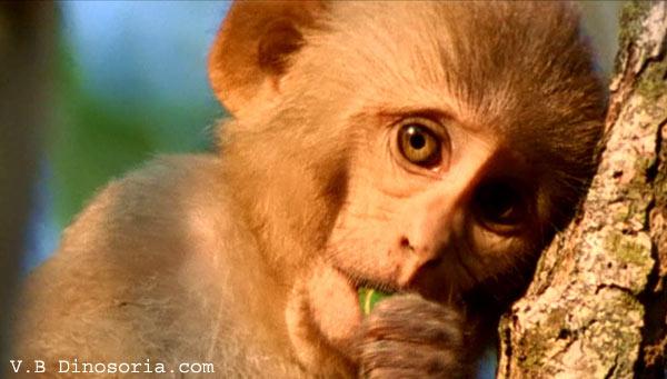 Jeune macaque rhesus