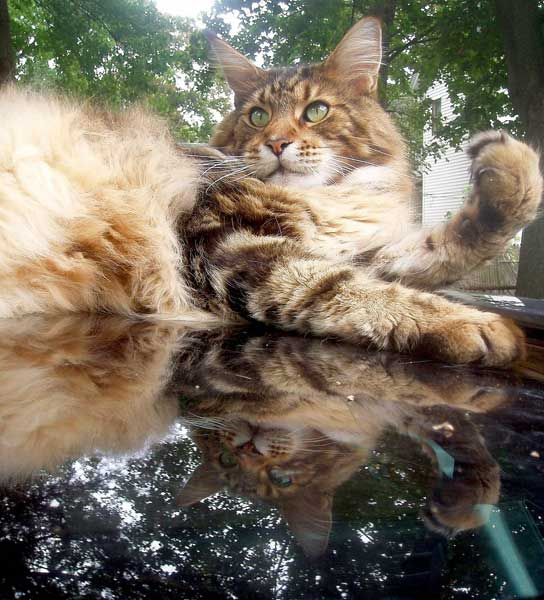 Main coon . Chat de race