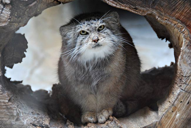 Chat de Pallas . Manul . En Images. Dinosoria