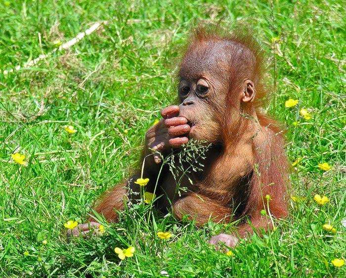 Beliebt Orang-Outan. Pongo pygmaeus . En Images. Dinosoria FE63