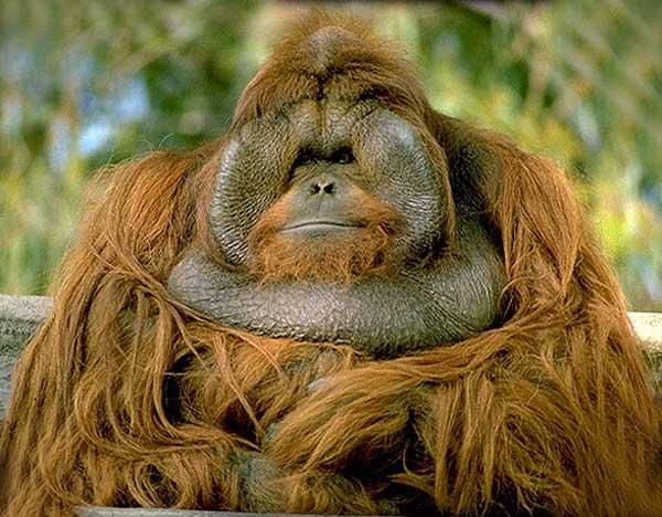 Hervorragend Orang-Outan. Pongo pygmaeus . En Images. Dinosoria PR85
