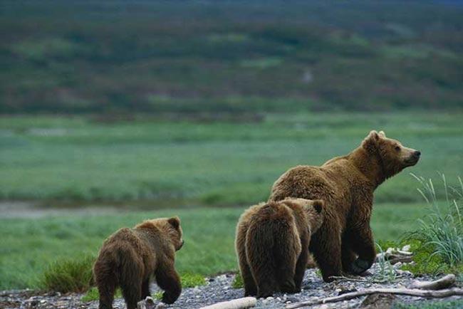 Famille d'ours bruns