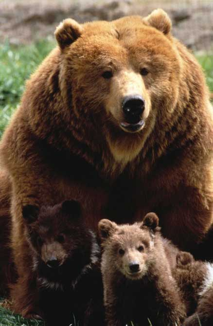 Ours brun et ses oursons