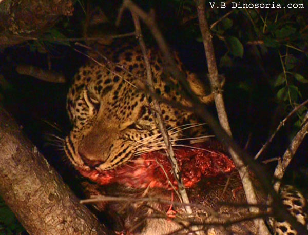 différence leopard guépard jaguar