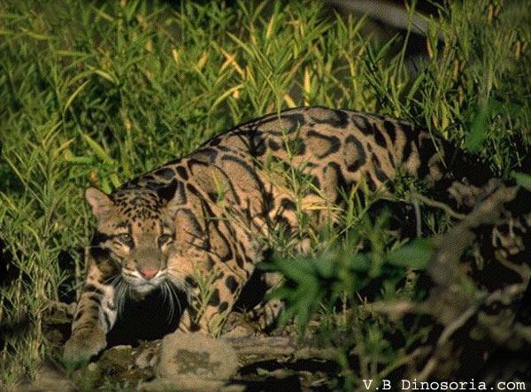 Leopard tacheté