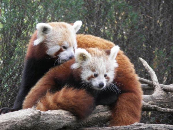 Petit panda et son bébé