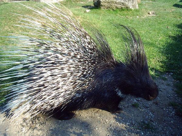 http://www.dinosoria.com/mammifere/porc_epic_crete.jpg