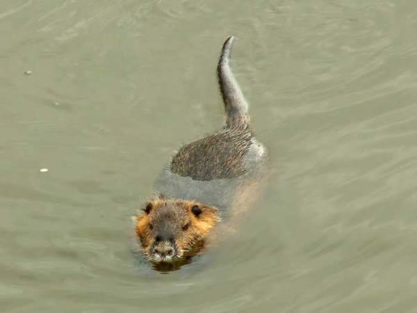 Ragondin qui nage