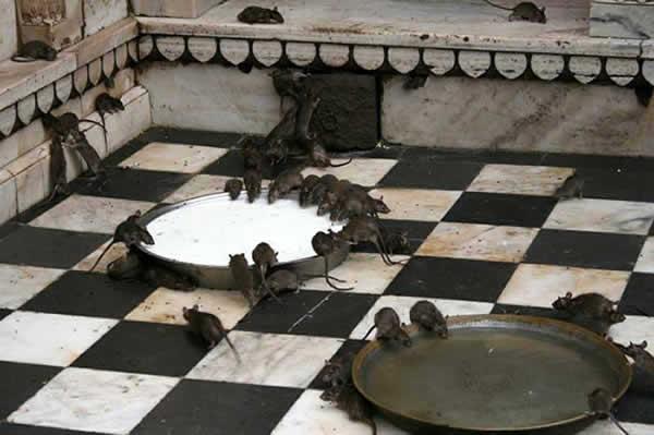 rat noir rattus rattus en images dinosoria. Black Bedroom Furniture Sets. Home Design Ideas