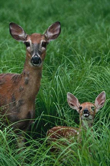 http://www.dinosoria.com/mammifere/red_deer.jpg