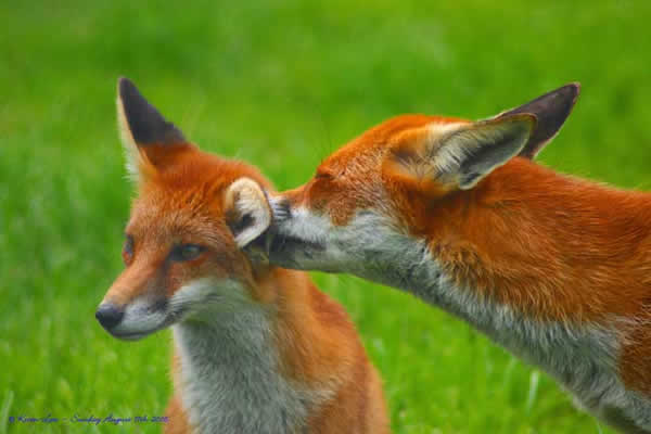 Couple de renards roux