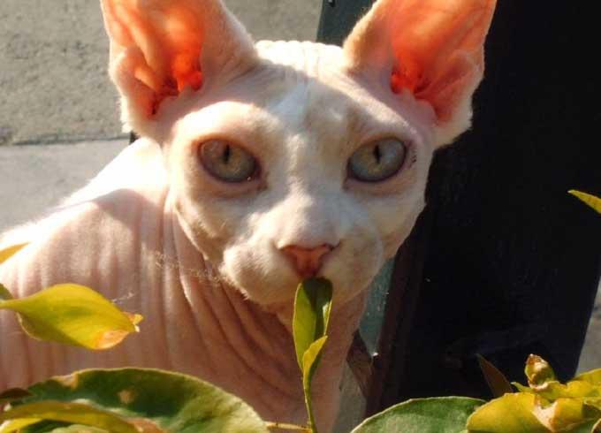 http://www.dinosoria.com/mammifere/sphinx_cat.jpg