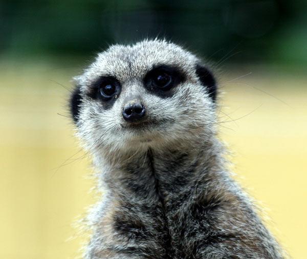 http://www.dinosoria.com/mammifere/suricate-53.jpg
