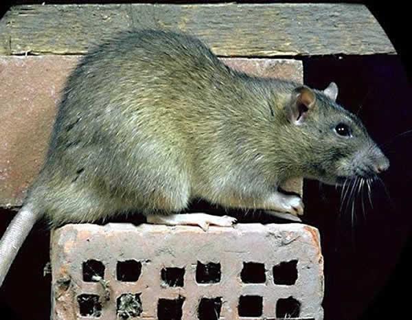 Rat d'egout