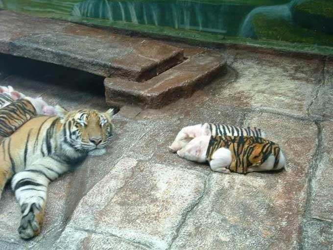 La tigresse et ses petits  cochons