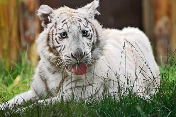 Tigre blanc en images video dinosoria - Bebe du jaguar ...