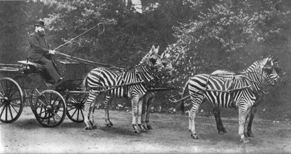 Rothschild et un attelage de zebres