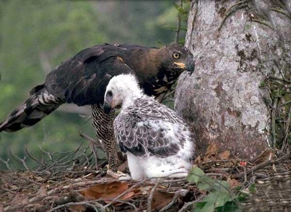 Aigle couronné et son bébé