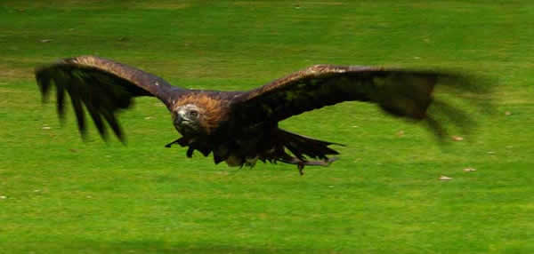 Aigle royal qui chasse