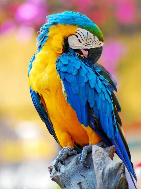 Dessin et peinture vid o 983 dessiner un perroquet - Dessiner un perroquet ...