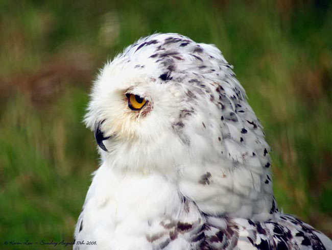Bubo scandiacus. Harfang des neiges